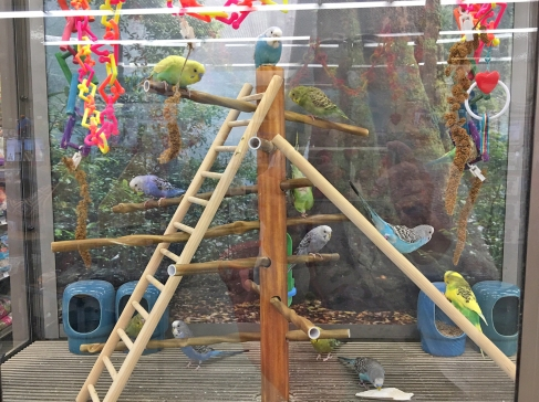 Parakeets at PETCO in Mission Viejo