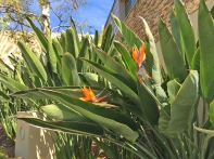 Bird of Paradise at Mission Viejo Library