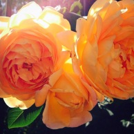 Golden Celebration Roses in Mission Viejo Garden