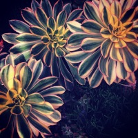 Sunburst succulents for the garden in Mission Viejo