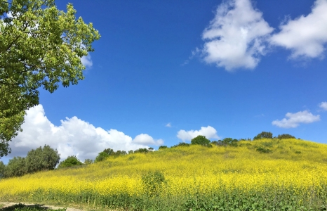Quail Run Neighborhood Mission Viejo | Mustard Flowers