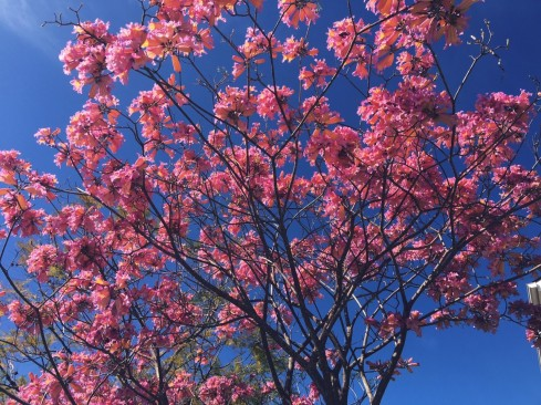 Pink Trumpet Tree in Small Front Yard Mission Viejo Home