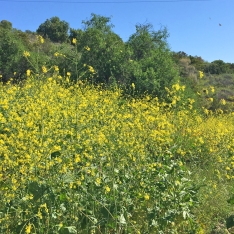 Mission Viejo Wildflowers and Arroyo Trabuco