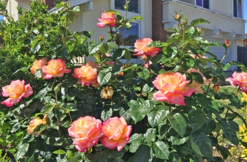 Roses at Home in Mission Viejo