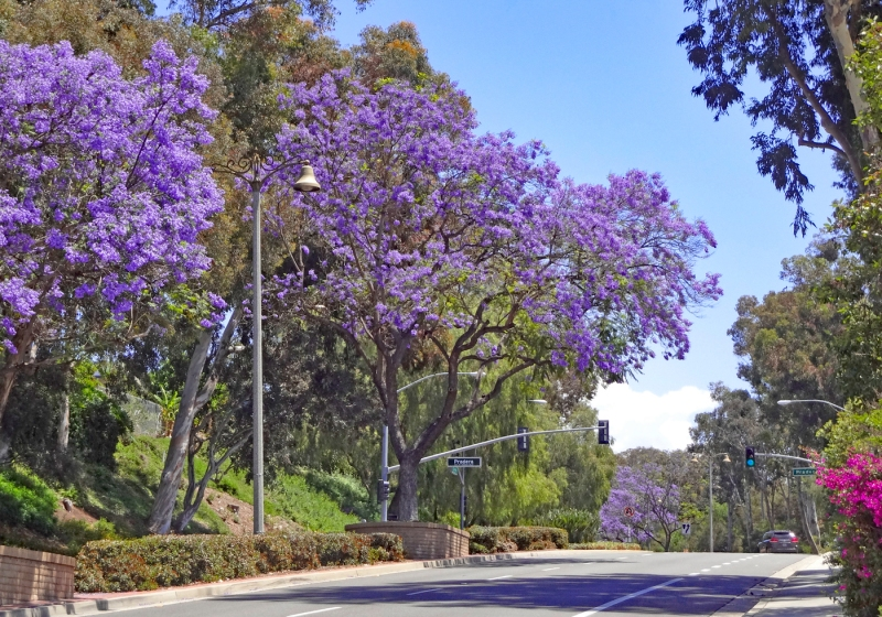 My Mission Viejo Home La Paz Road Jacaranda