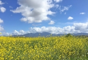 Mustard Flowers and Saddleback in Mission Viejo