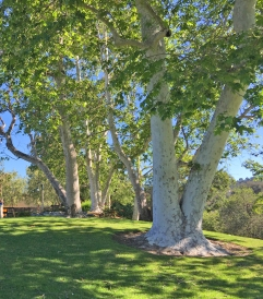 Sycamore Trees in Misison Viejo Parks