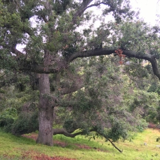 Large Oak Tree O'Neill Park and Arroyo Trabuco