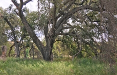 Oak Tree Along Trabuco Creek Trail