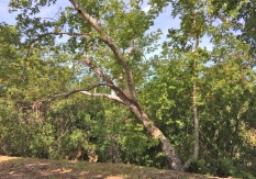 Historical Site Wilderness Glen Ranch Road Old Sycamore Tree
