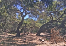 Oaks in Dappled Shade and Sun Mission Viejo Park